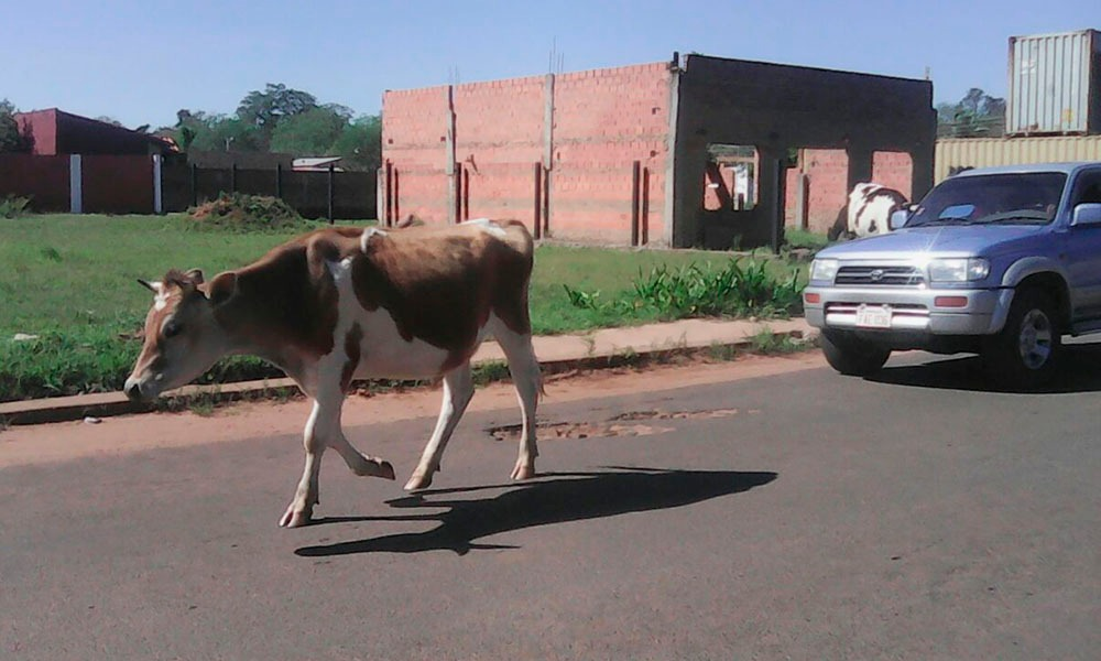 Persisten casos de vacas sueltas ante desidia municipal