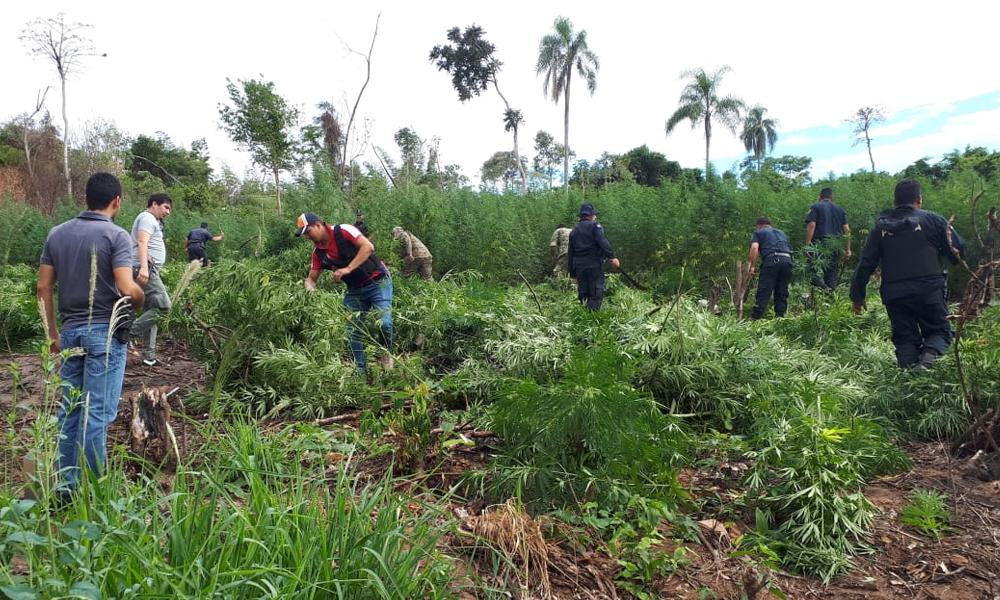 Comitiva fiscal-policial destruye seis hectáreas de marihuana en Yhú