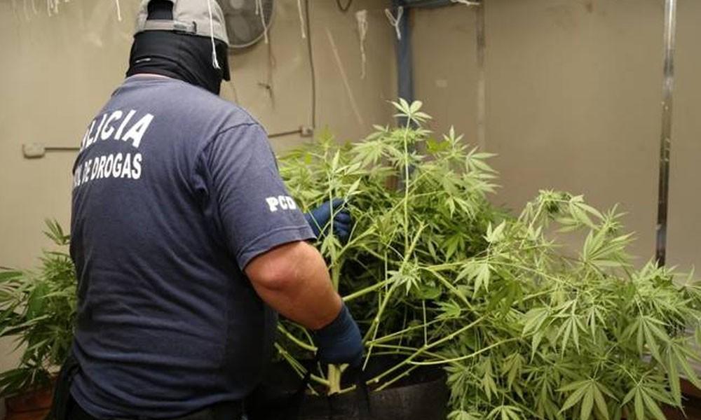 Costa Rica: Hallan medio millón de plantas de marihuana