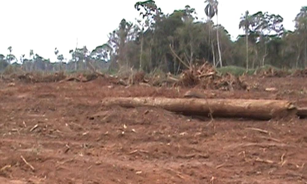 Denuncian a menonitas por galopante deforestación en Raúl A. Oviedo